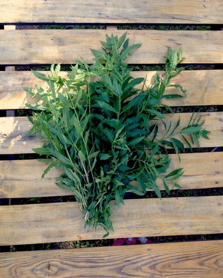 plantas medicinales para los gases y hierbas digestivas