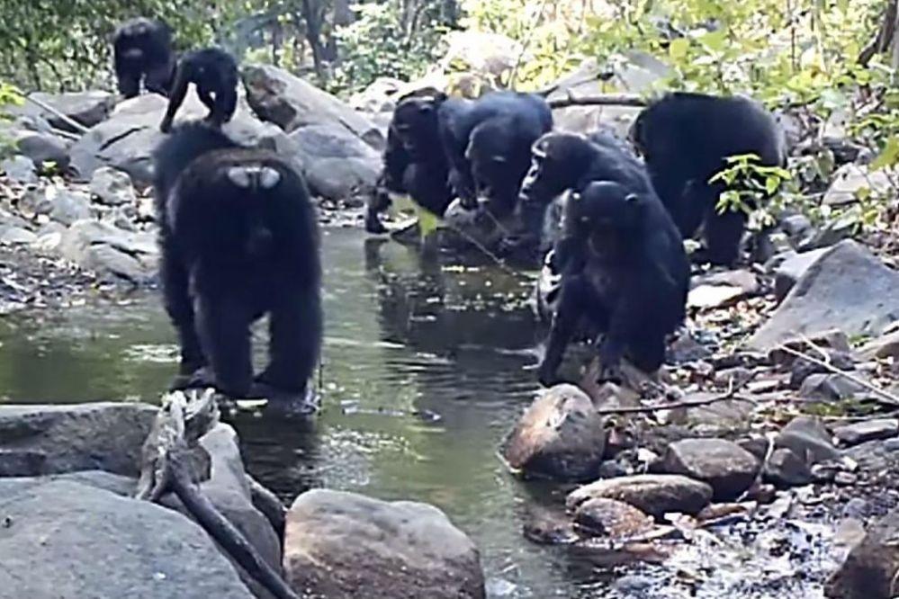 Sorprendente video: Chimpancés pescando para comer