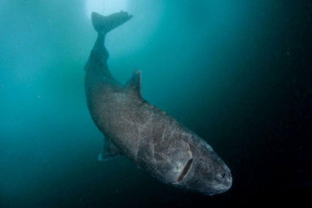 Tiburones de 500 años de edad en Groenlandia