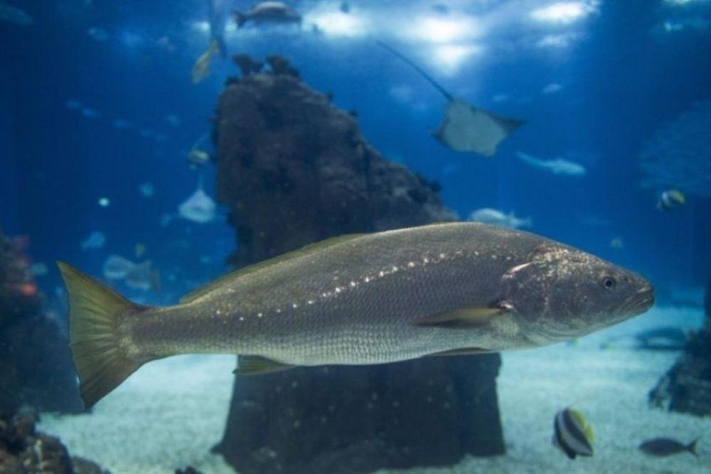 El grito sexual de un pez mexicano puede dejar sordos a los delfines
