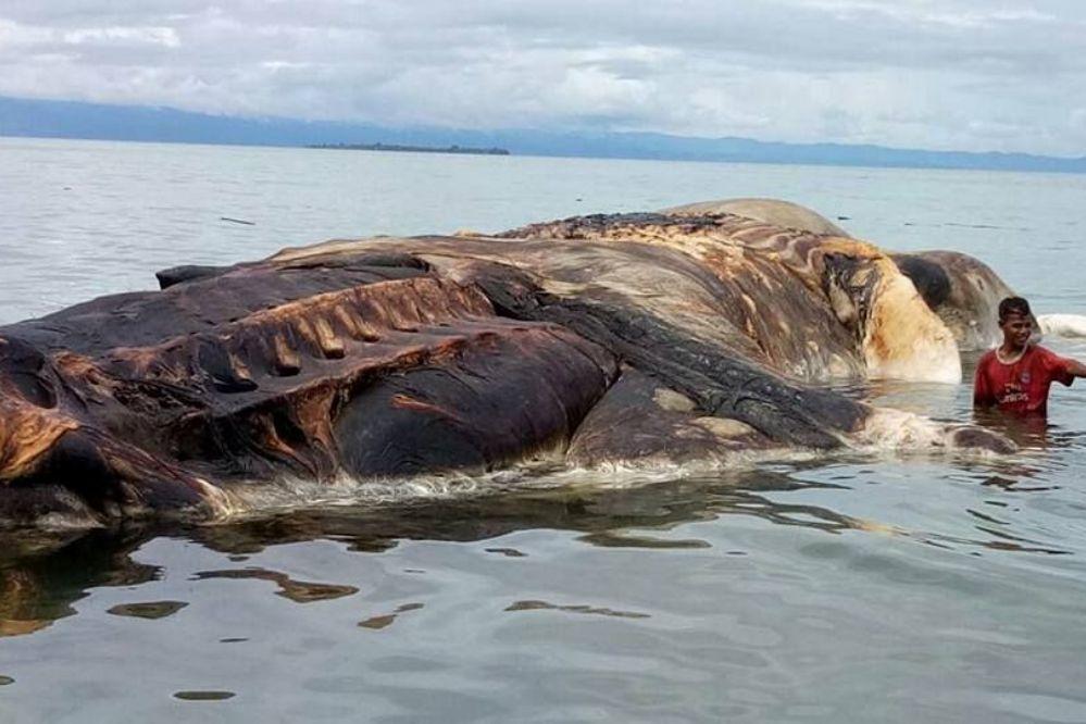 Video: Encuentran el cadáver de un misterioso animal gigante en Indonesia